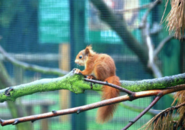 red squirrel 1.jpg