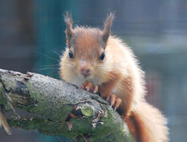 red squirrel 4.jpg