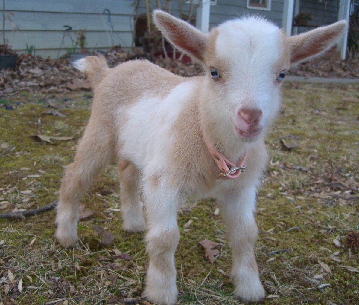 Cute Overload #2: Baby Goat Tries To Baa