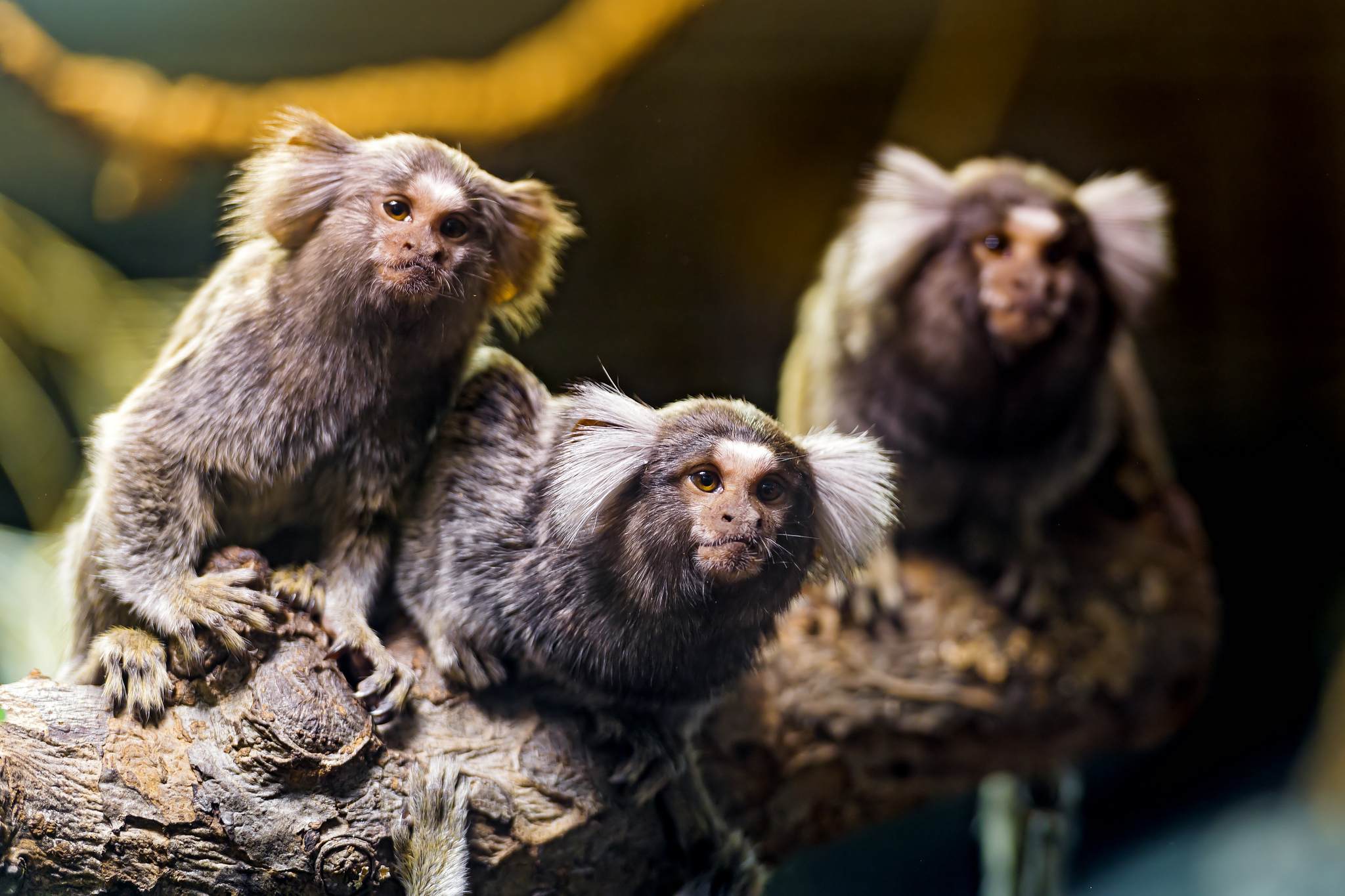 marmosets-learn-from-movies