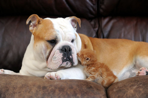 bulldog and kitten